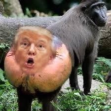 Baboon ass